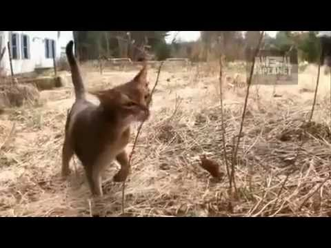 Abyssinian Cat Youtube