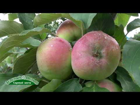 Новые сеянцы яблони   Дарья и Станица