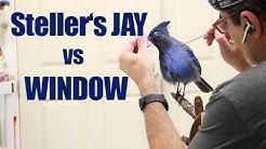 Steller's Jay dies after a window strike. Art of Taxidermy, Jay taxidermy