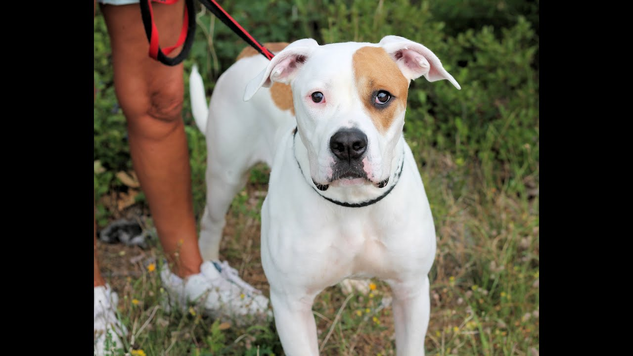 billy, an adorable 10- to 12-month-old great dane/american bulldog mix  adopted in manahawkin