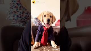 pitbull dog American  bulldog labra dog  watsapp status(3)