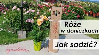 Jak sadzić róże latem. Najważniejsze zasady.