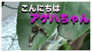 毎年、ミカンの木にアゲハの幼虫が舞い降りてきます(笑) 今年は子供と...