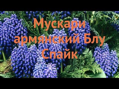 Мускари обыкновенный Блу Спайк (muscari Muscari) 🌿 обзор: как сажать, луковицы мускари Блу Спайк