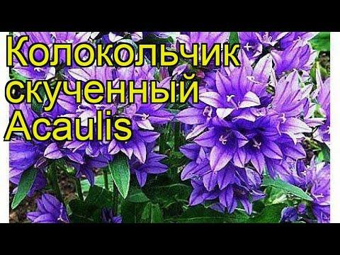 Колокольчик скученный Акаулис. Краткий обзор, описание характеристик, где купить рассада