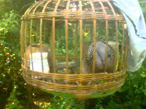 Chim cu gay hay nhât binh dương