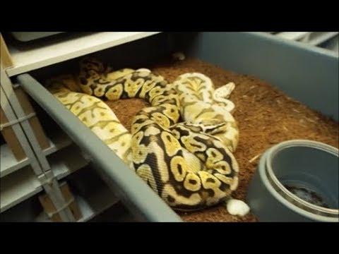Ball Python Breeding Tips! Locks, pairings, etc.