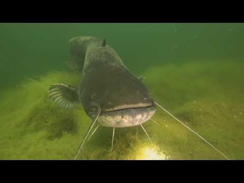 Огромные сомы! Подводная съемка! Красивые кадры!!!