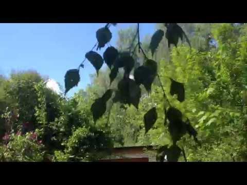 Лечим радикулит, простуду березовыми листьями.