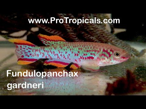 Killifish / Fundulopanchax Gardneri / How To Hatch & Breed Steel Blue Killifish Eggs