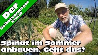 Spinat im Sommer anbauen. Ein Versuch.