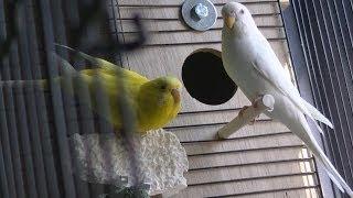 Installing a Parakeet Nesting Box