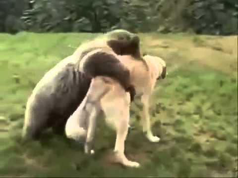 Kurdish Kangal Dog Vs Brown Bear Fight K 246 Pek D 246 V 252 ş 252 Youtube