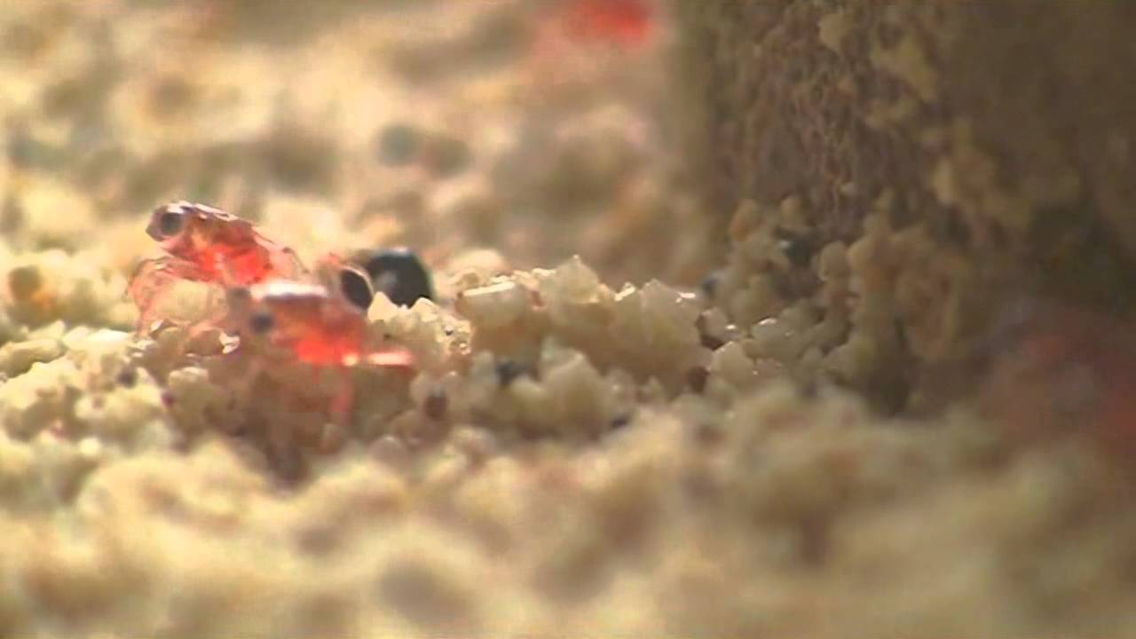 Baby Red Crabs Arrive On Christmas Island Youtube