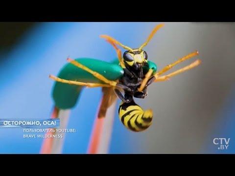 Укусила ОСА, что делать? Пчела ужалила в глаз, губу, язык или шею - дальнейшие действия
