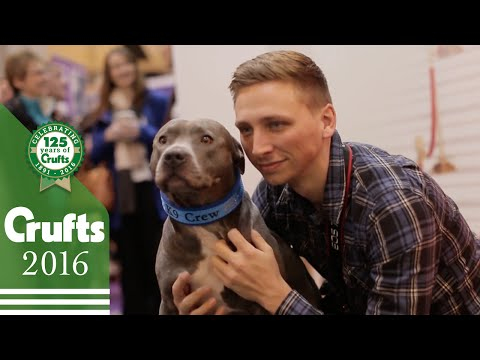 Ramsey the Blue Staffy at Crufts | Crufts 2016