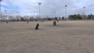 Training A Labrador Retriever For Hunt Test By Myself