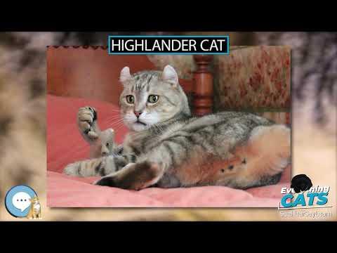 Highlander cat  EVERYTHING CATS