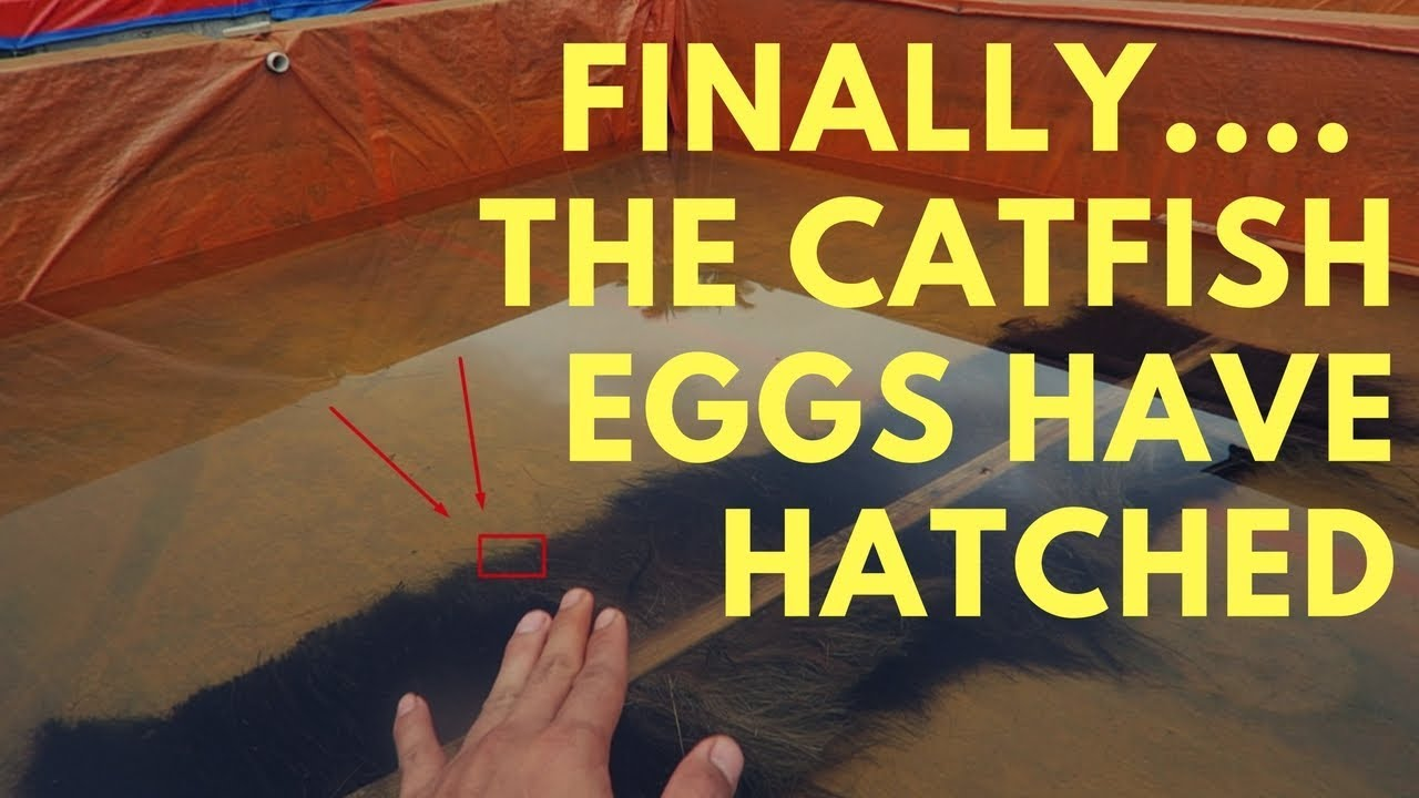 Download Finally, The catfish eggs have hatched