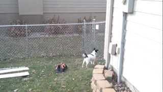 Papillon Dog climbs fence to escape.