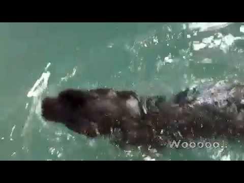 My Newfoundland Dog: Honeybun Swims In The Pool