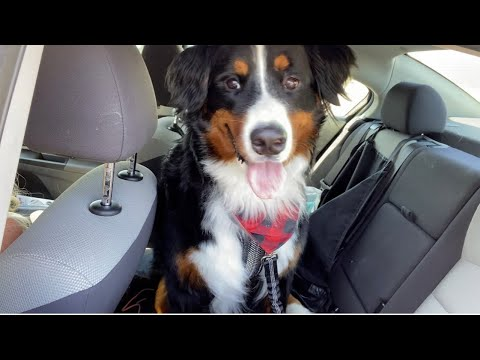 Dog Seat Belt Review With My Bernese Mountain Dog