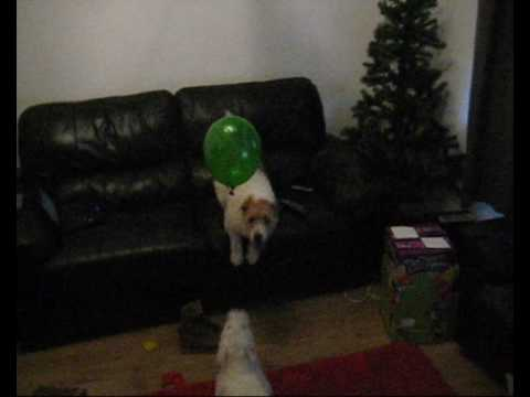 my parsons jack russell's playing with a balloon