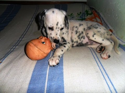 Dalmatian puppy play with plastic bottle ESK TV