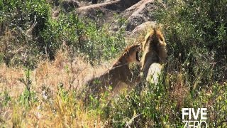 Male lions kill cubs and take over pride