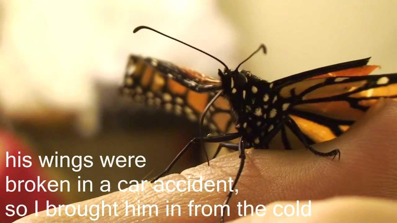 Hand Feeding A Erfly Rescued Monarch