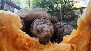 Tortoise vs. Pumpkin