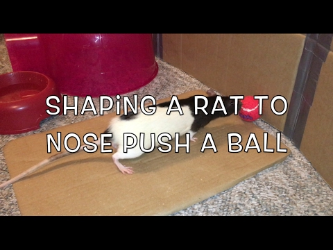 Shaping: Clicker-Training A Rat To Nose Push A Ball