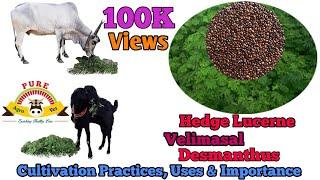 வேலிமசால் / Velimasal / Hedge Lucerne / Desmanthus cultivation practices