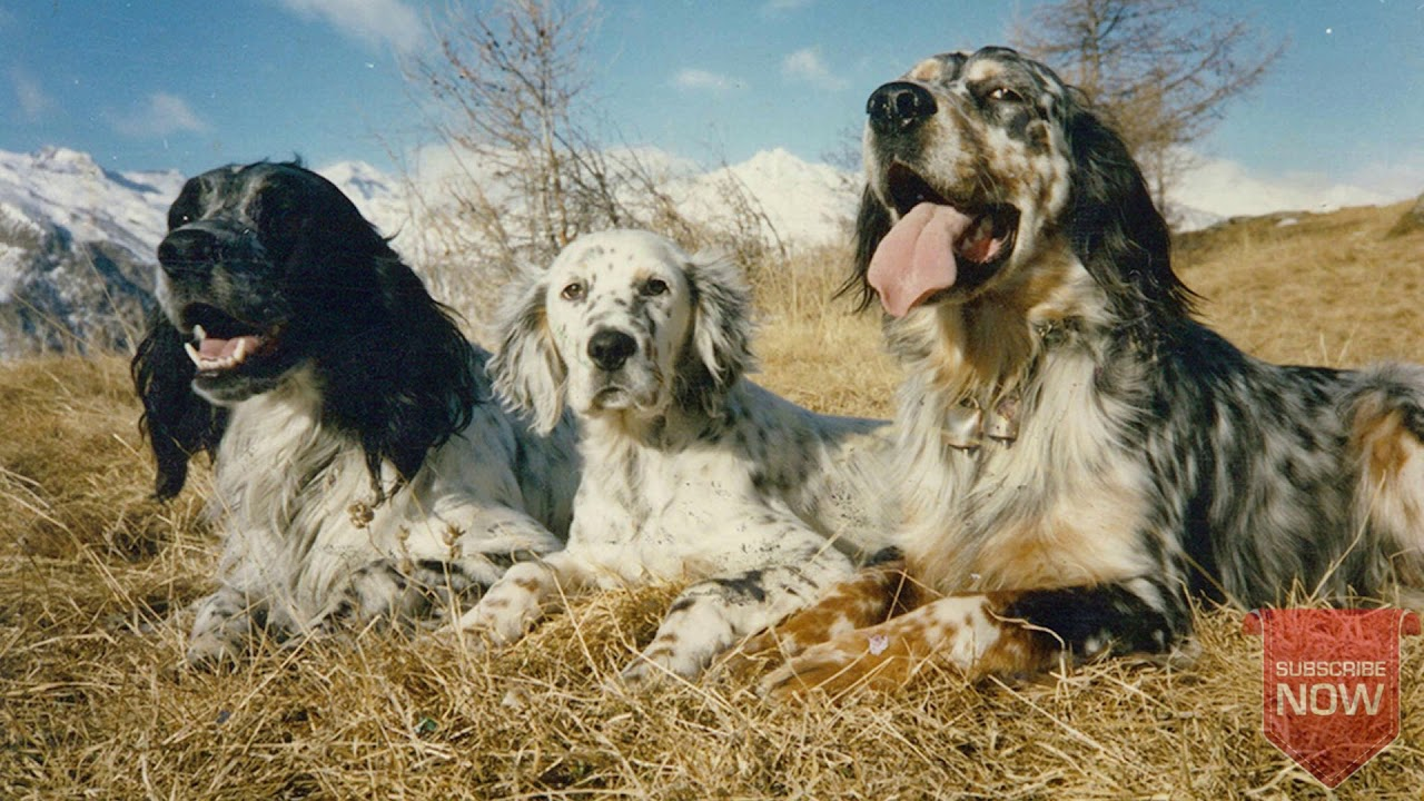 English Setter The Best Hunting Dogs