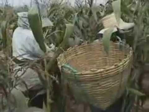 บ้านเกษตร : ปลูกข้าวโพดหวาน ง่ายๆไว้กิน