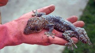 Змеи Таиланда, гекконы и опасная живность