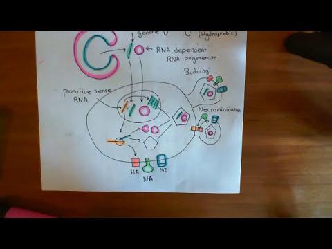 Influenza Virus - Replication Cycle Part 3