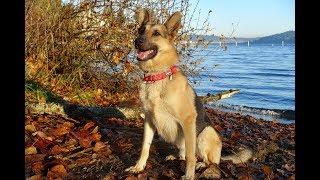 Washington German Shepherd Rescue #GermanShepherd #GSD #dogrescue #...