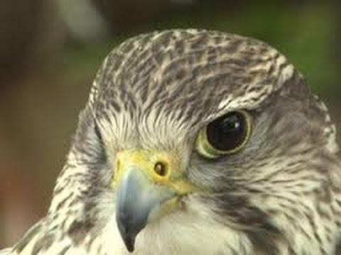 Секреты Соколиной Охоты В МИРЕ ЖИВОТНЫХ beak