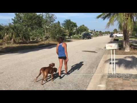 "5mo old Boxer ""Holden"" 