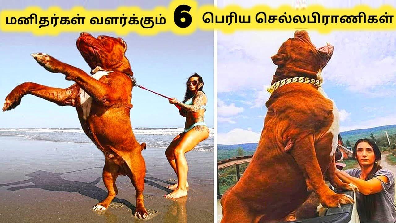 பெரிய செல்லப்பிராணிகள் || Six Biggest Animal Pets || Tamil Info Share