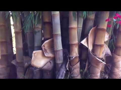 Bambu Gigante em Brasília