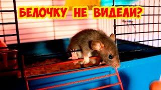 Потеряли Белочку 🐭 Расселили крысят мальчиков от девочек 🐭 Любимые питомцы