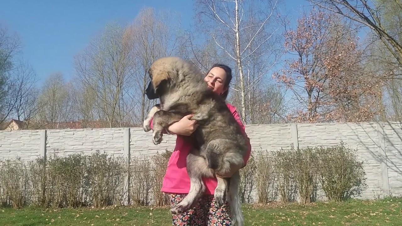 Caucasian Shepherd For Sale >> Owczarek kaukaski suczka 4msc * Caucasian Shepherd babygirl:::...... - YouTube