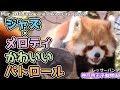 ジャズ×メロディ かわいいパトロール 神戸市王子動物園(レッサーパンダ)Red panda Kobe City Oji Zoo