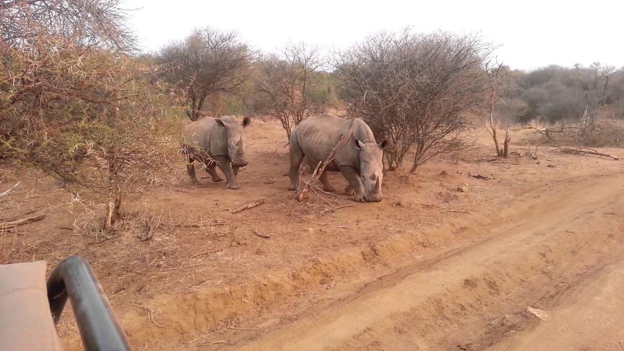 188f1d67ed0 Amazing safari! Male Rhino attempts mating female - YouTube