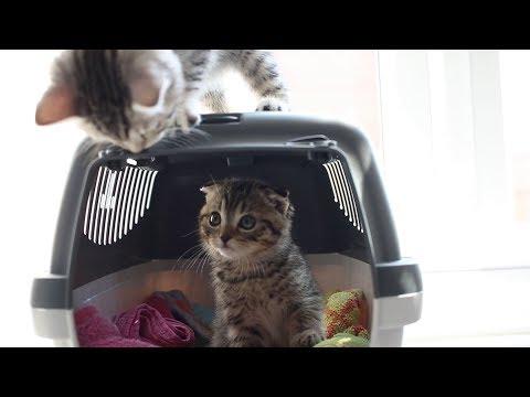 Mocha & Mew Play Fighting | Scottish Fold Kittens [#002]