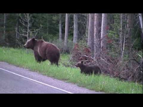 Grizzly 399 and Her Three Cubs Head for Jackson Lake Lodge - YouTube