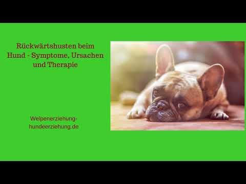 Rückwärtsniesen Beim Hund – Symptome, Ursachen Und Therapie