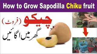 how to grow Chiku Fruit Sapodilla    चीकू की देखभाल    Nukta Guidance
